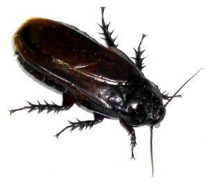 Cockroach Control SWAT Environmental Services Navan Meath Ireland