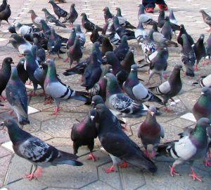 Pigeon Control SWAT Environmental Services Navan Meath Ireland