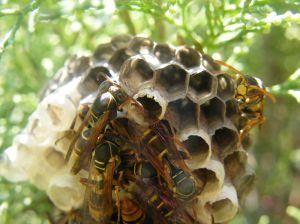Wasp Control SWAT Environmental Services Navan Meath Ireland